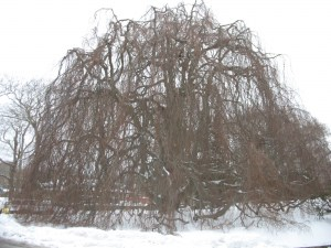 European weeping beech, located behind McKillop Library